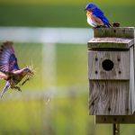 Vogels bouwen vogelsnest in vogelshuisje