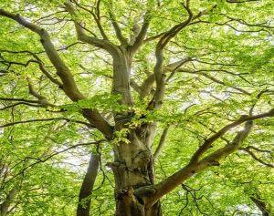 Grote esboom met groene bladeren