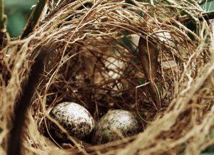 Vogelsnest met 2 eieren